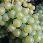 сорт винограда Moscato Bianco, из которого делают Москато д'Асти и Асти спуманте