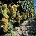 Вино Moscato d'Asti  пахнет свежим мускатным виноградом