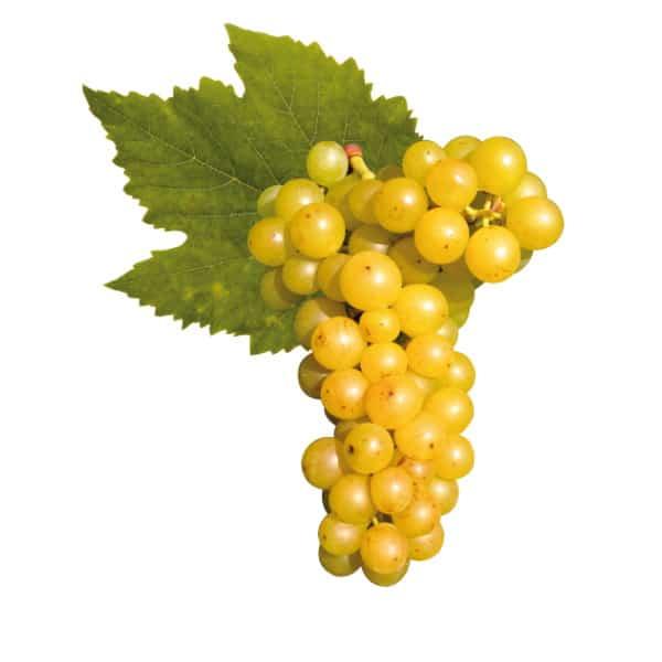 Сорт Москато Бьянко – лучшее для шампанского Асти