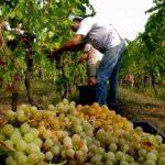 Ручной сбор винограда Москато Бьянко в Асти (Италия)