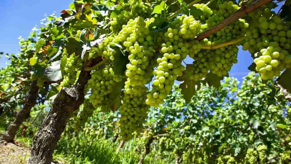 8 невероятных фактов о винограда Москато Бьянко, из которого создают Moscato d'Asti и Asti